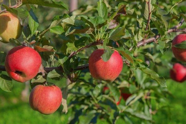 О яблоне июльское черненко: описание и характеристики сорта, посадка и уход