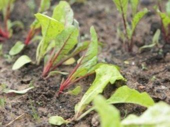 Выращиваем свёклу — через сколько дней появляются всходы