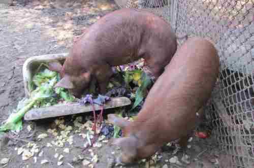 Кормовые дрожжи для свиней: для чего нужны