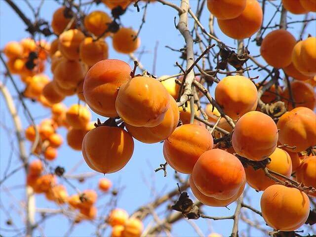 Какие сорта хурмы пригодны для выращивания в подмосковье и как ухаживать за этим плодовым деревом?