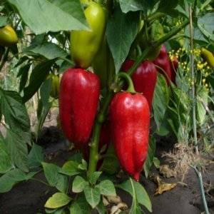 Как пасынковать перец в открытом грунте или теплице: схема и пошаговая инструкция формирования куста