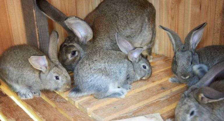 Кролики породы ризен: содержание и разведение