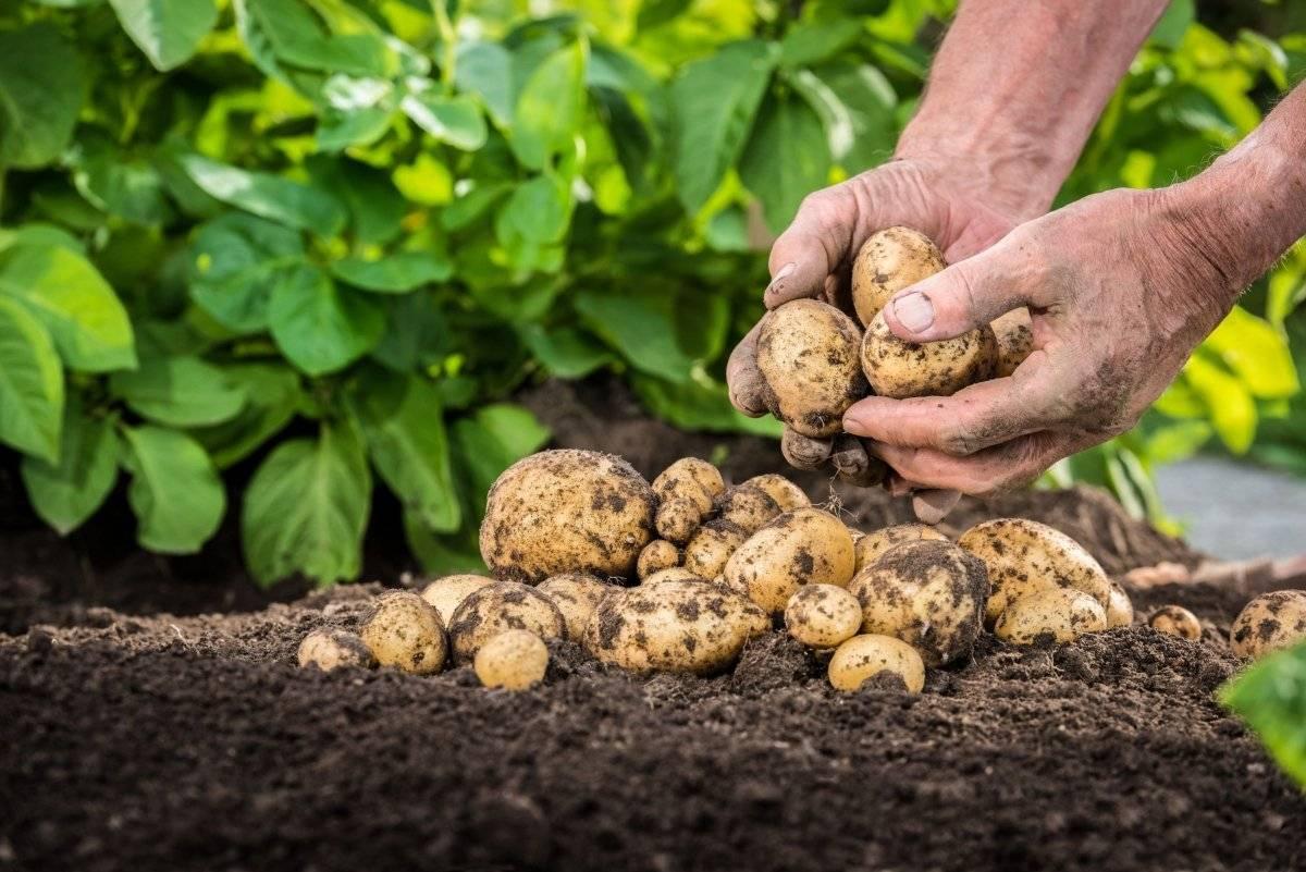 Обработка картофеля до и после посадки от колорадского жука и проволочника