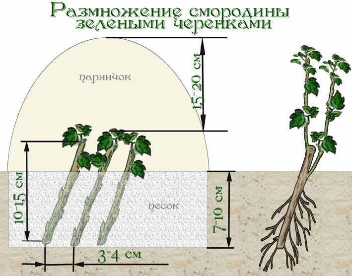 Посадка смородины черенками осенью и весной: как правильно размножить черный и красный вид, а также срез летом, сроки перемещения в грунт, полив земли и уход