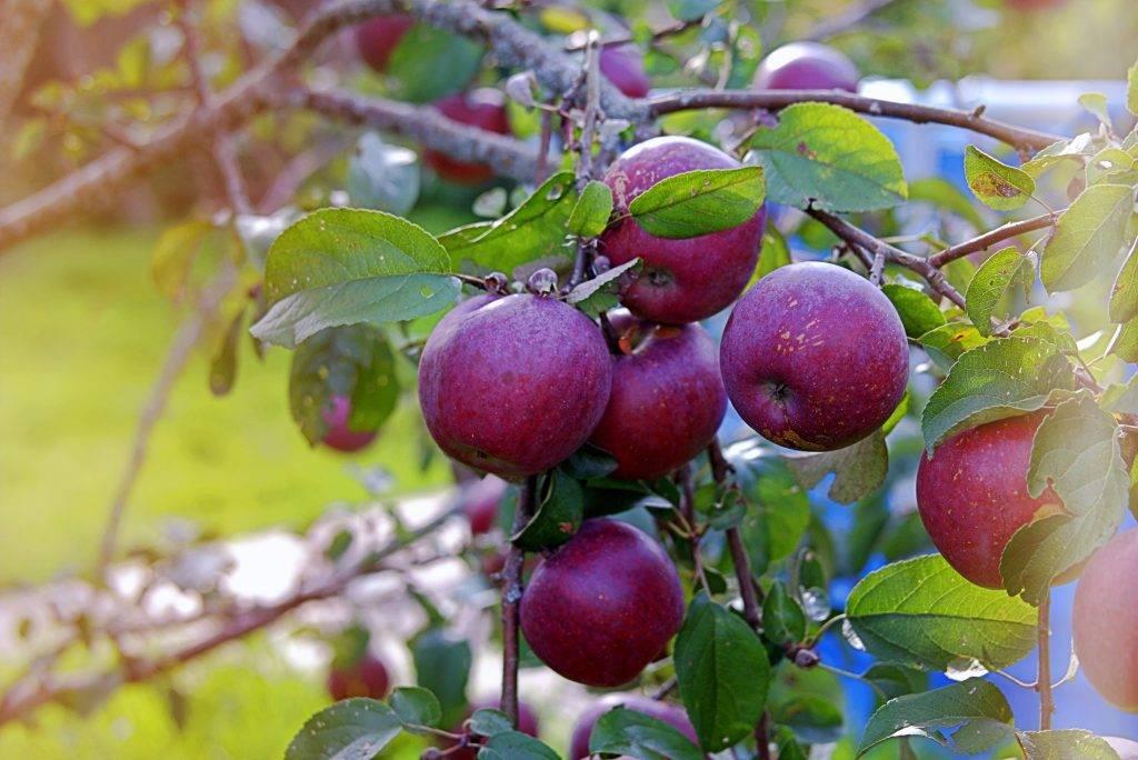 Сорт яблони веньяминовское