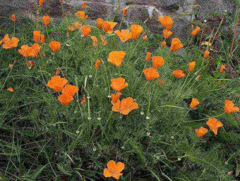 Эшшольция - выращивание из семян и уход за растением