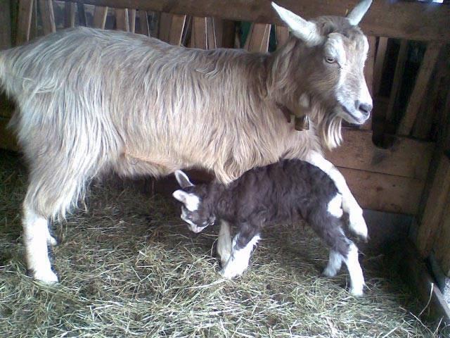 Безрогие козы — разновидности пород, описание и характеристика