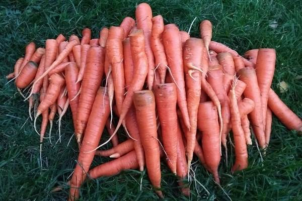 Описание и характеристики сорта моркови королева осени