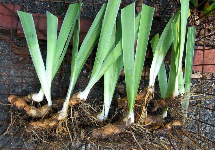 Уход за лилейником осенью, подготовка к зиме