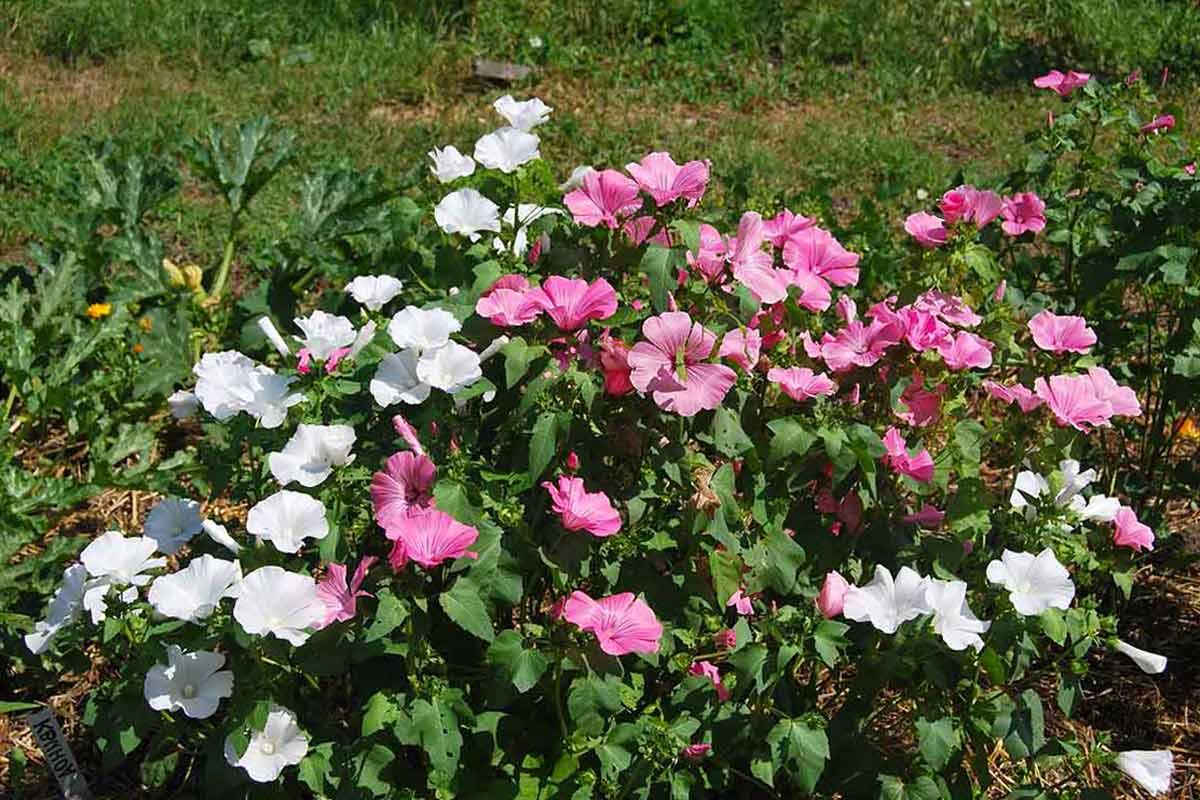 Цветок лаватера хатьма: фото и правила выращивания рассадой и посевом семян в открытом грунте