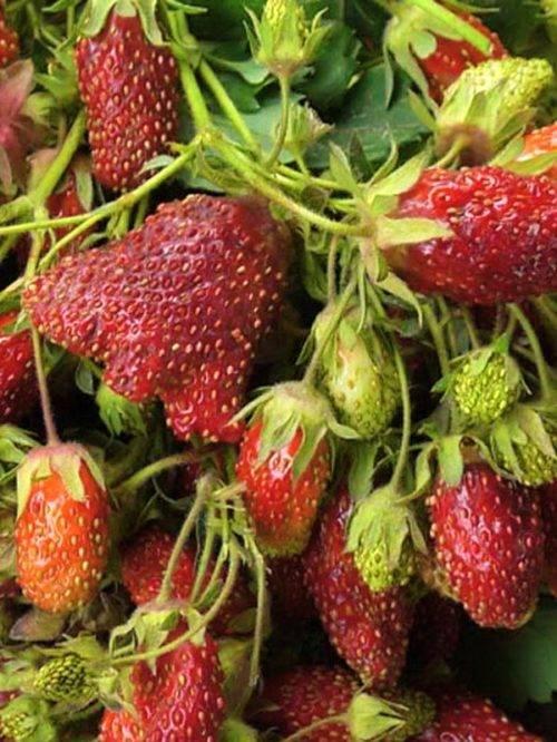 40 лучших сортов для выращивания клубники