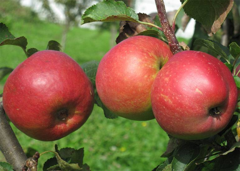 Яблоня жигулевское, описание, достоинства и недостатки сорта