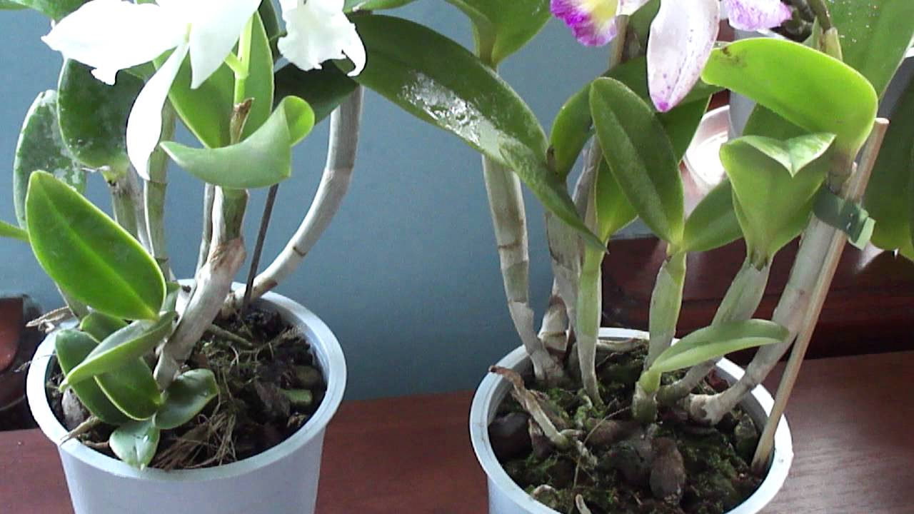 Каттлея фото орхидеи, уход в домашних условиях, пересадка, цветение, полив, размножение