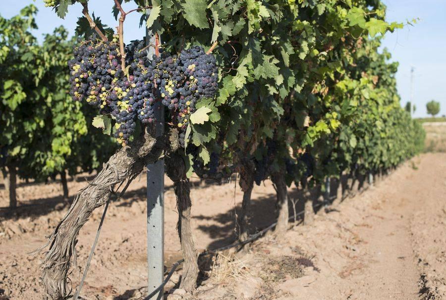 Виноград чарли: описание сорта с характеристикой и отзывами, особенности посадки и выращивания, фото