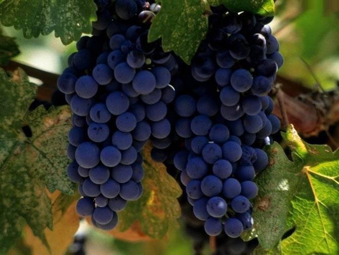 Сорт виноград изабелла — описание, фото, отзывы, видео.