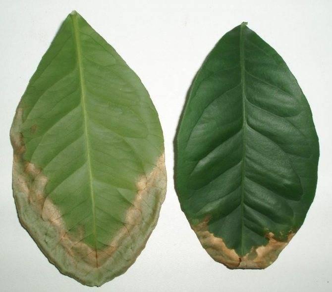 Сохнут листья и ствол у комнатного лимона