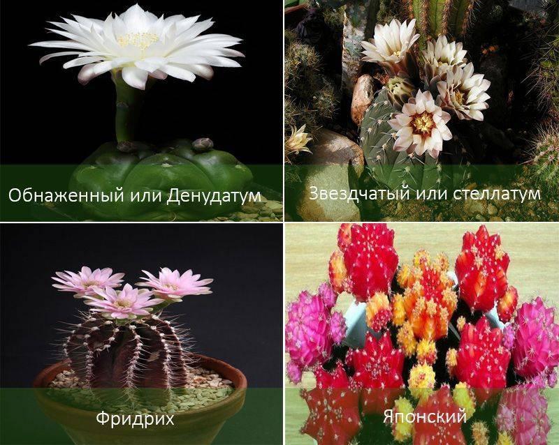 Кактус гимнокалициум: советы и рекомендации по уходу в домашних условиях, виды, размножение
