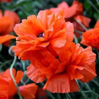 Мак голостебельный фото уход в саду выращивание из семян и посадка в открытый грунт
