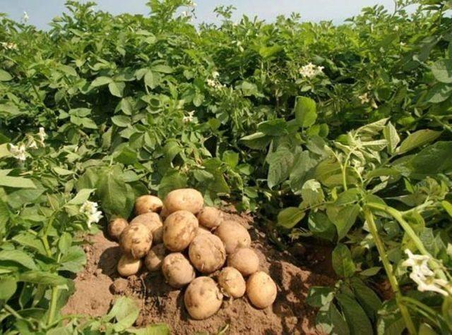 Характеристика сорта картофеля уладар