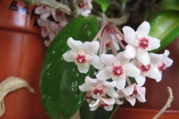 Хойя (восковой плющ): уход в домашних условиях, виды и сорта, размножение, цветение, фото и видео