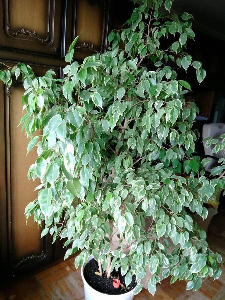 Фикус разнолистный - уход и выращивание в домашних условиях.