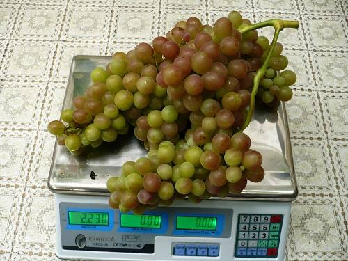 Виноград блестящий, как выращивать виноград блестящий