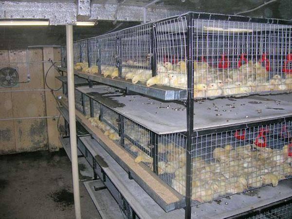 Клетки для кур несушек своими руками: чертежи с размерами, фото содержания птиц selo.guru — интернет портал о сельском хозяйстве