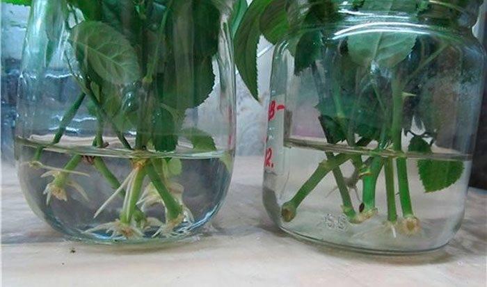 Ирга: посадка и уход, размножение в открытом грунте
