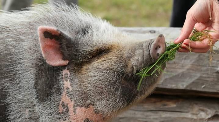 Чем и как правильно кормить свиней?