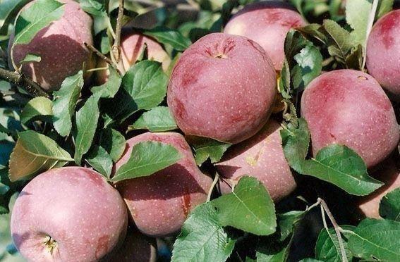 Описание сорта яблони флорина: фото яблок, важные характеристики, урожайность с дерева