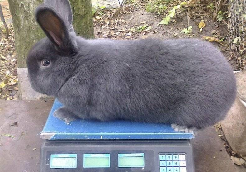 Обзор породы венский голубой кролик: описание и полная характеристика с фото