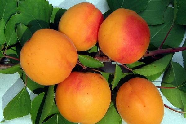 Абрикос кичигинский: описание сорта, выращивание, фото
