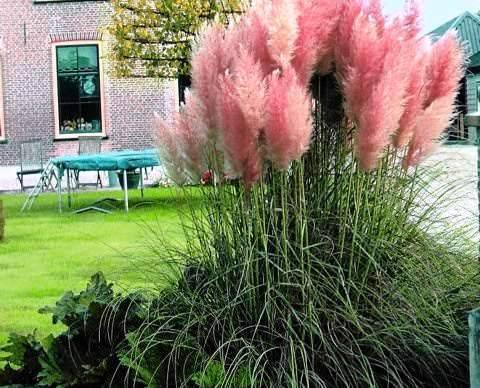 Пампасная трава (кортадерия): описание, разновидности, выращивание из семян и уход
