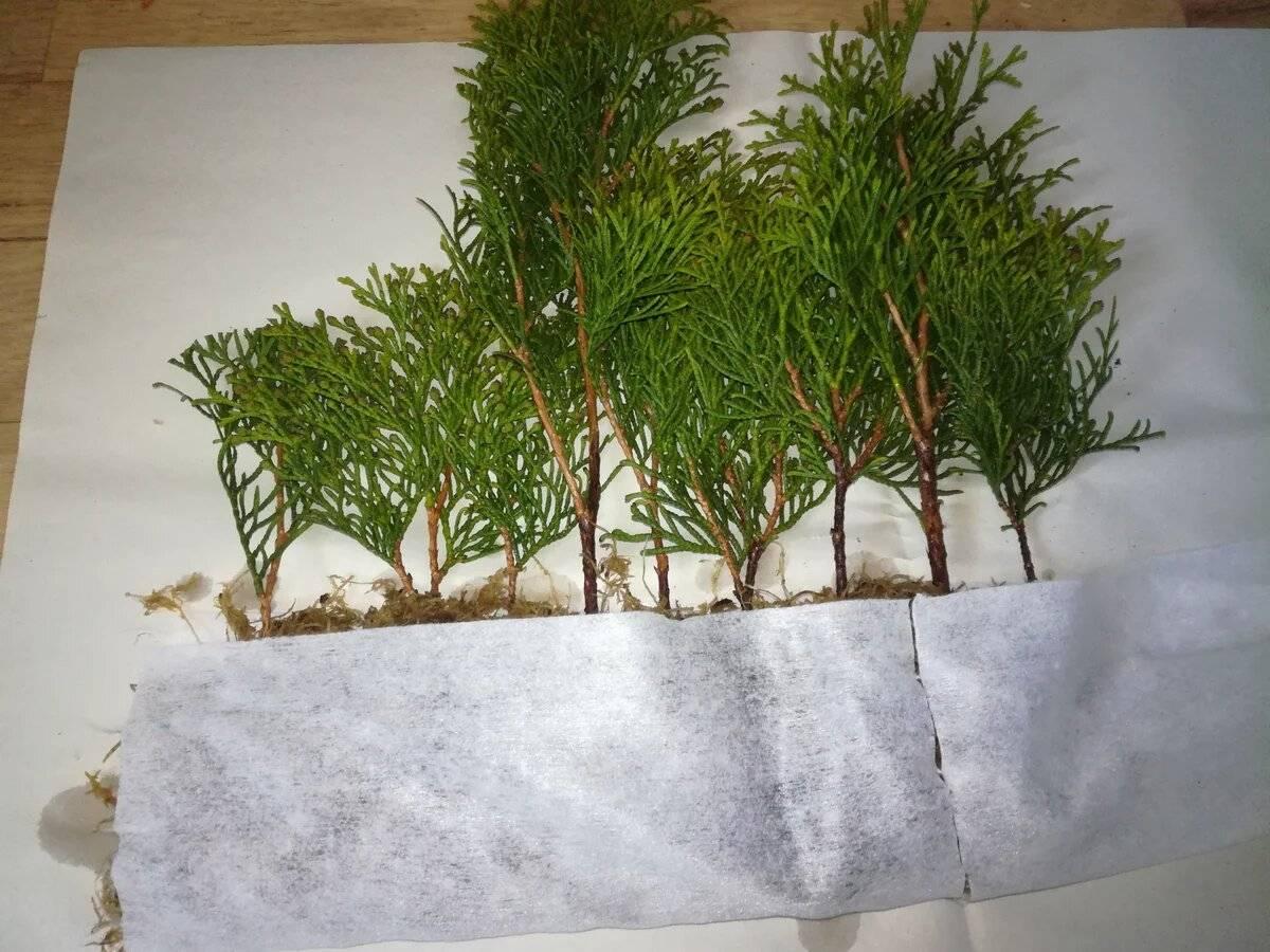 Размножение туи черенками осенью: как вырастить дерево из веточки в домашних условиях