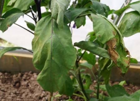Почему у баклажанов желтеют и вянут листья в теплице, что делать