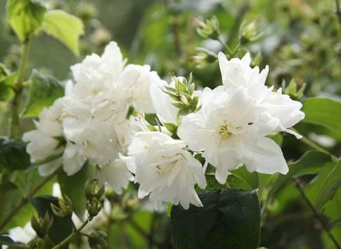 Цветы жасмин: описание, виды, посадка и советы по уходу