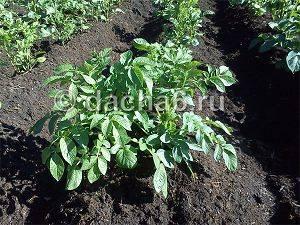 Мочевина (карбамид) как удобрение, применение на огороде