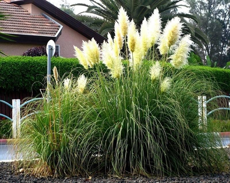 Кортадерия: фото и описание травы, посадка и уход в открытом грунте