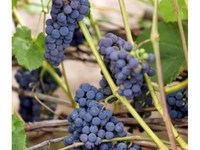 Описание винограда альфа и отзывы виноградарей, фото представителей сорта