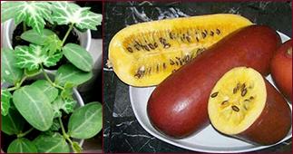Брахикома: посадка и уход в открытом грунте, выращивание из семян, фото