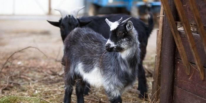 Карликовые козы: история происхождения, описание разновидностей, уход