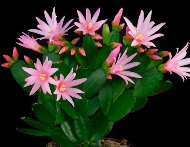 Хатиора: фото, виды и способы ухода за кактусом в домашних условиях