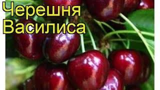Как получить большой урожай черешни в средней полосе и подмосковье? личный опыт на supersadovnik.ru