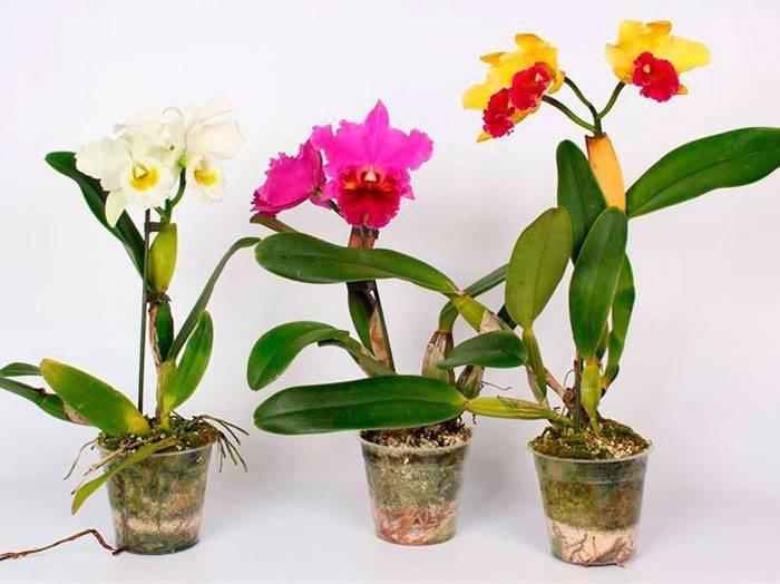 Каттлея уход – выращивание и размножение в домашних условиях