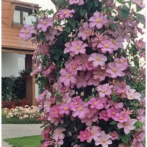 Сорт клематиса крупноцветного комтесс де бушо: описание цветка, основные характеристики и уход за ним