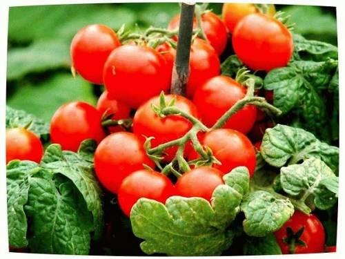 Какую температуру выдерживает рассада томатов