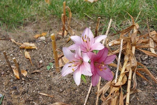 Лилии уход осенью: подготовка к зиме, обрезка