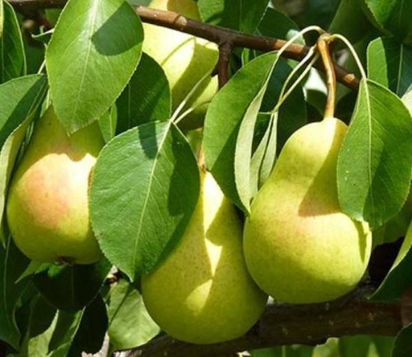 Какие «плюсы» и «минусы» имеет груша чижевского и стоит ли ее сажать?