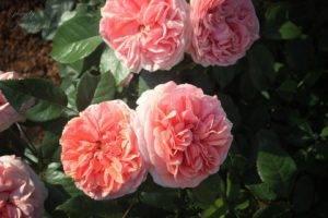 """Роза """"чиппендейл"""": фото и описание сорта, отзывы"""