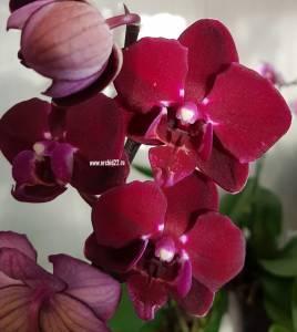 Самые редкие виды орхидей: сорта и способы их размножения